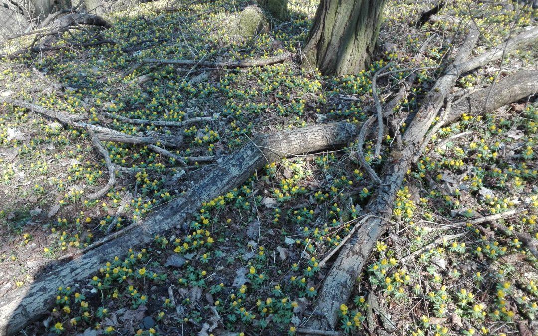Ranniki zimowe masowo kwitną w parku w Radojewie