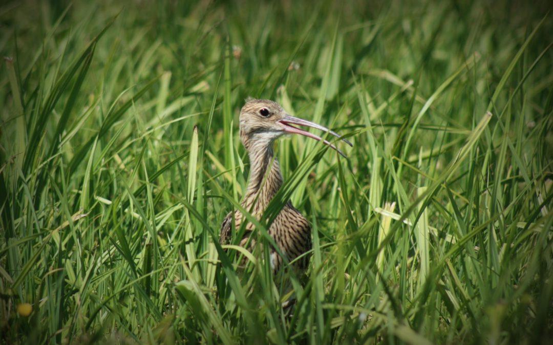 Niezwykłe ptaki wypuszczone w Wielkopolsce. Zobacz wideo
