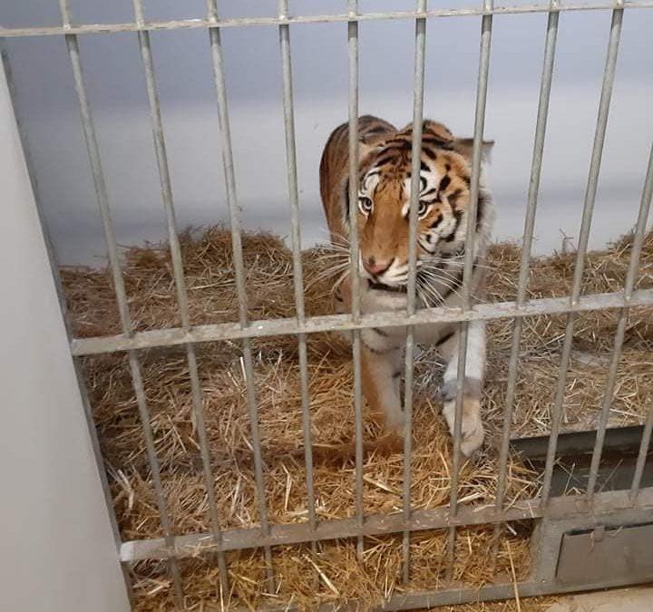 """""""Tygrysy na części"""" – w Rosji tygrysy miała czekać śmierć"""