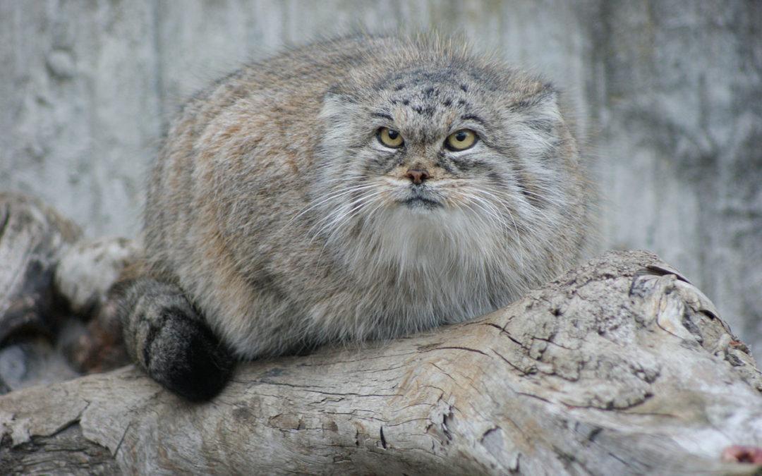 Manul stepowy uciekł z poznańskiego zoo